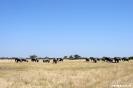 Moremi Nationaal Park - Enorme kudde (100+) olifanten