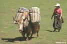 Langmusi - Yaks<br />komen terug naar het<br />dorp