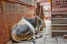 Varanasi, Holy cow!