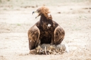 Bokonbaevo - Eagle hunting
