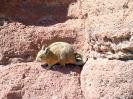 San Pedro to Uyuni - Arbol de piedra, een viscache