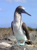 Galapagos - Blue Footed Boobie