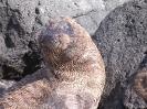 Galapagos - Jonge zeeleeuw