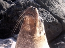 Galapagos - Mama zeeleeuw