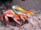 Galapagos - Sally<br />lightfood krab
