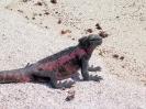 Galapagos - Zeeleguaan