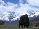 Zhongdian naar Lhasa - Yak bij Rawok Tso