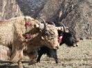 Zhongdian naar Lhasa - Yaks ploegen het land
