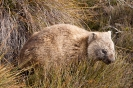 Cradle mountain - Wombat