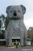 BIG Koala !