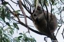 Great Ocean Road - Koala bij Kenneth River
