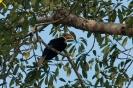 Kinabatangan - neushoornvogel