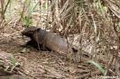 Pantanal - armadillo (gordeldier)