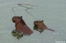Pantanal - capibara