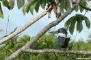 Pantanal - giant kingfisher