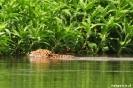 Pantanal - Jaguar zwemt over de Miranda rivier