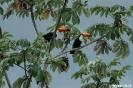 Pantanal - toekan