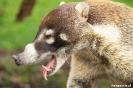 Volcan Arenal - Coati (neusbeer)