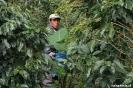 Boquete - koffiebonenplukker aan het werk