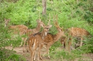 Yala national park - bambi