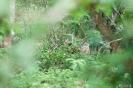 Yala national park - luipaard in de struiken