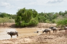 Yala national park - Waterbuffels