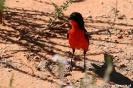 Kgalagadi Transfrontier Park - Crimson breasted shrike