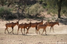 Kgalagadi Transfrontier Park - Rode hartebeest