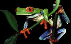 Rain_forest_frog